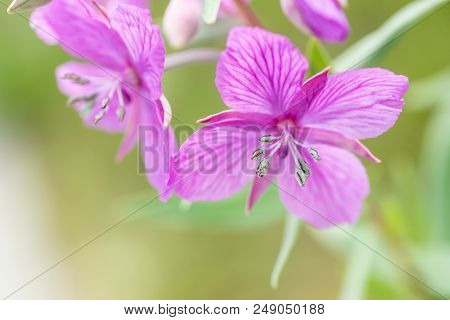 Narrow Focus Image Of The Anther And Pollen Of A Dwarf Fireweed Plant.