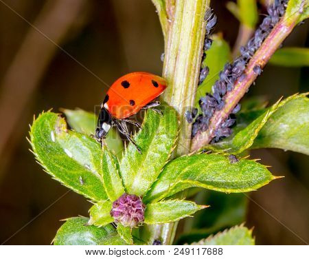 Harlequin Ladybird (coccinellidae) Adult Eating Aphid. Predatory Beetle In Family Coccinellidae Feed
