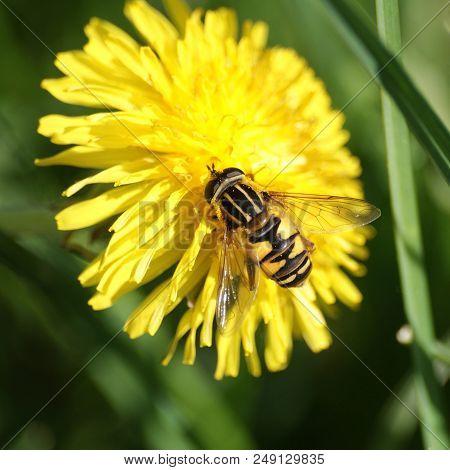 Flower Fly Enjoying The Sun Sitting On A Yellow Garden Flower