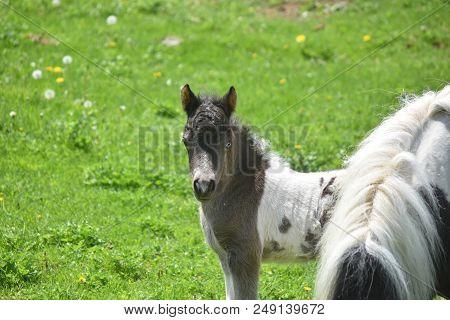 Beautiful White And Black Miniature Horse In A Grass Field.