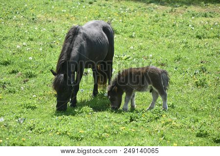 Cute Miniature Horse Mare And Foal Grazing In A Large Field.