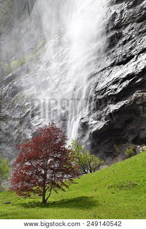 Huge Waterfall In Lauterbrunnen In Contrast With Red Tree