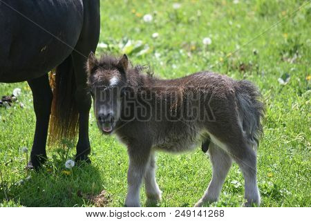 Adorable Fluffy Black Miniature Horse In A Green Grass Field.