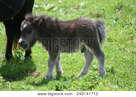 Very Sweet And Shaggy Newborn Miniature Horse Colt In A Pasture.
