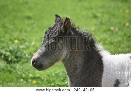 Beautiful Blue Eyed Miniature Horse Foal In A Grass Field.