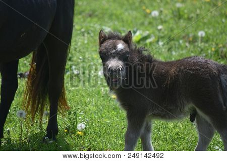 Brilliant Spring Day With A Beautiful Miniature Horse Foal.