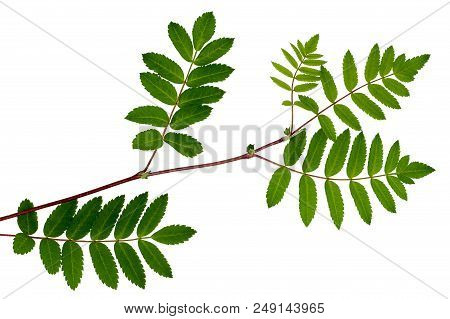 The Leaves Of Mountain Ash, Red Ash, Sorbus Aucuparia, The Rowan Set Of Leaves, Compound Leaves, Lea