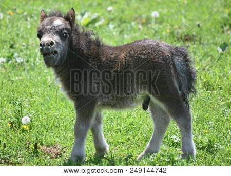 Very Cute Fluffy Miniature Horse Foal In Lancaster County, Pennsylvania.