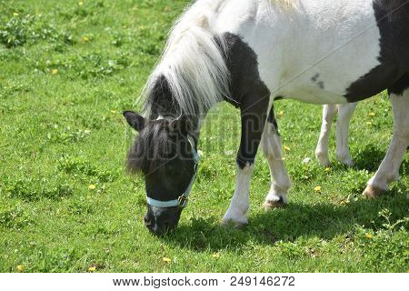 Cute Paint Miniature Horse Standing In A Field.