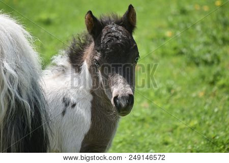 Beautiful Miniature Horse Filly Standing In A Field.