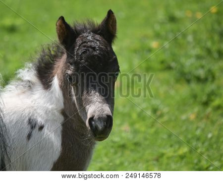 Sweet Expression On The Face Of A Black And White Paint Miniature Horse.