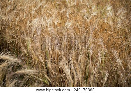Barley Field In The Sun With Ripe Ears Of Wheat