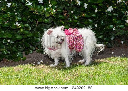 Small White Maltese Dog Looking Pretty In Her Flower Print Dress.