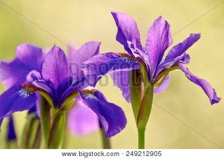 Brilliant Violet Iris Flowers In Sunlight With Yellow Background