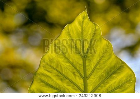 Extreme Closeup Of A Lime Green Leaf And Bokeh Background