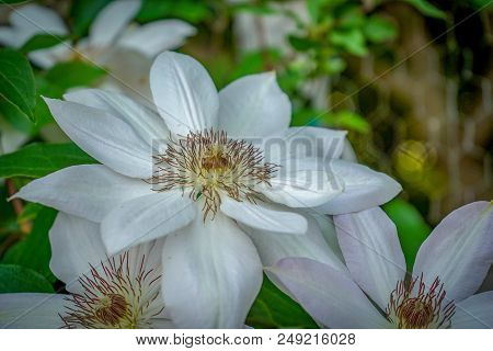 Closeup Of A White Clematis Flower With Green Leaves In Background