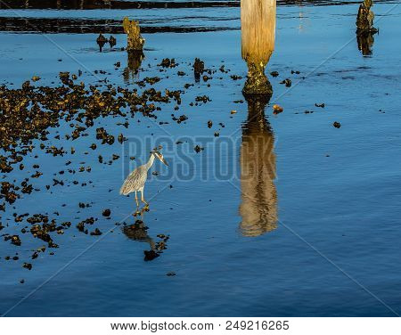 A Yellow Crowned Night Heron Feeding In An Oyster Bed With Decaying Wooden Pilings On The St. Lucie