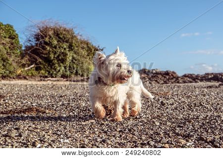 Healthy Senior Dog Exploring Shingle Beach With Shells And Pebbles - West Highland White Terrier Wes