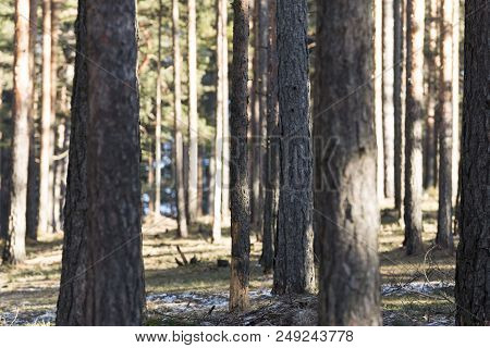 Wood Forest Conifers Tree Isolated. Wood Trees