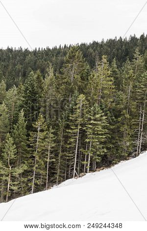 Mountain Conifer Trees With Snow. Winter Forest Wood Trees