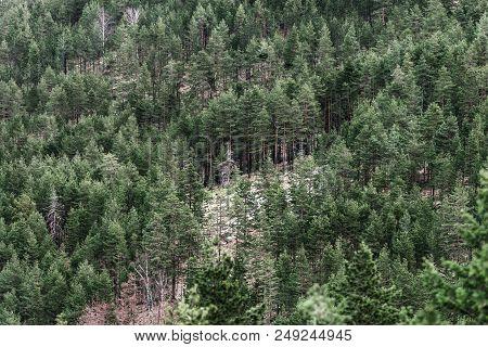 Wood Forest Conifer Trees. Wood Landscape Background