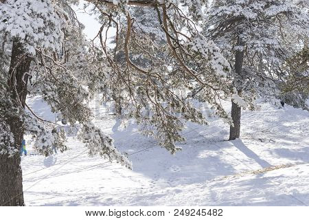 Conifer Wood Forest Tree With Snow Environment