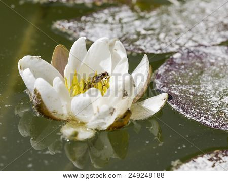 a delicate fragile white lily in the pond is reflected in the water, and the fly sits in the yellow flower center poster