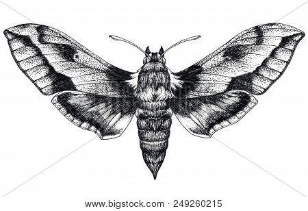 Hand Drawn Butterfly Tattoo. Dotwork Tattoo. Hummingbird Hawk Moth. Macroglossum Stellatarum. Lepido