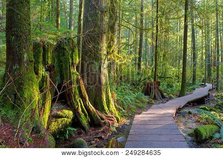 Wood Walkway Path Hiking Trail Through Forest In Lynn Canyon Park In The Municipal Of British Columb