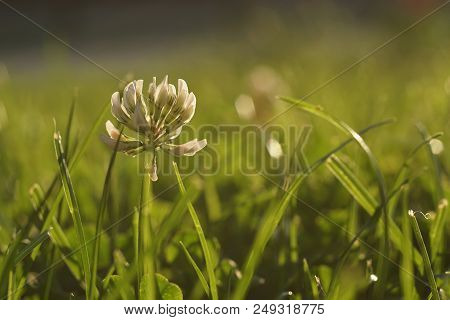 White Clover, Trifolium Repens, In A Meadow.  Out Of Focus Green Grass, Lush Foliage, In The Backgro