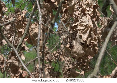 Pattern Of Dry Oak Leaves In Bunches On Branches. On A Blurred Backgrounds Of Summer Foliage
