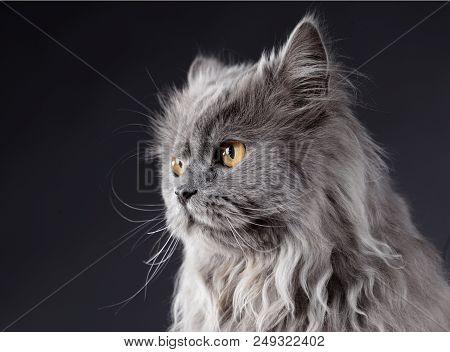 Cat Portrait In Studio From Sideways With Black Background