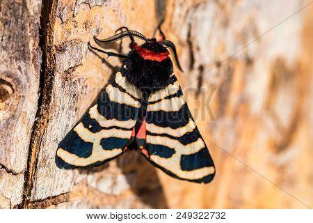 Close Up Hebe Tiger Moth Or Arctia Festiva On Tree Trunk