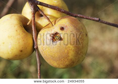 wasp eating in the apple