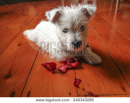 Cute Dog With Flower: West Highland Terrier Westie Puppy With Chewed Red Petals On Timber Hardwood F