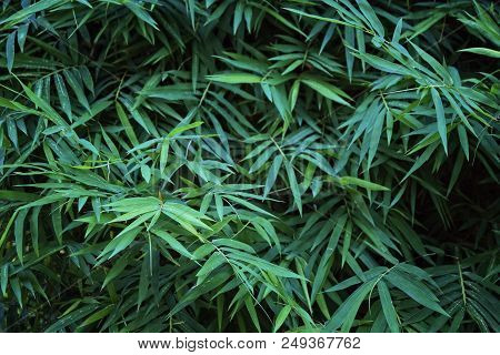Creative Dark Green Bamboo Leafs For Background And Wallpaper. Bamboo Is Sign For Peaceful Of China