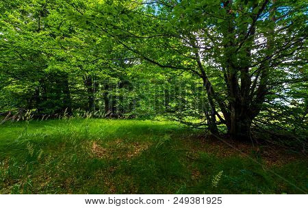 Deep Ancient Beech Forest In Summer. Beautiful Silent Scenery
