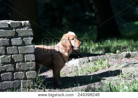 American Cocker Spaniel Puppy Six Month Walking Outdoor At Summer