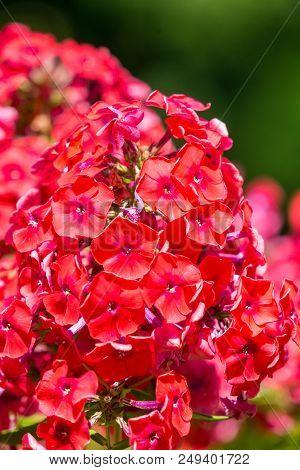 Close-up Of A Beautiful Red Phlox (phlox Paniculata) Flower In Summer. Garden Purple Phlox (phlox Pa