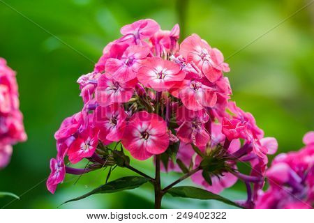 Close-up Of A Beautiful Purple Phlox (phlox Paniculata) Flower In Summer. Garden Purple Phlox (phlox