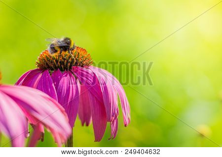 Close-up Of A Small Bumblebee On A Beautiful Purple Coneflower (echinacea ) In Summer. Garden Conefl