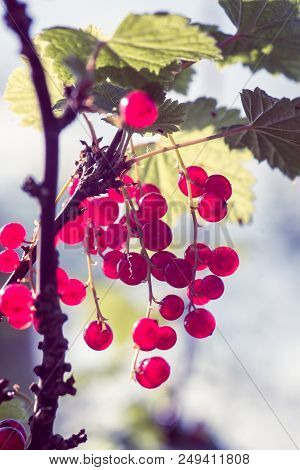 Twig With Red Currants In The Sunny Garden