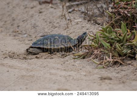Non Native Red-eared Slider Turtle Basking In The Morning Warmth In The Soft Sand Of California Beac