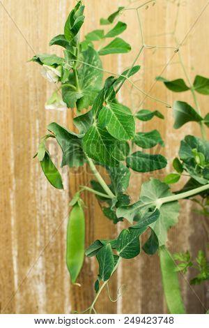 Bush Of Peas  Vegetable In A Garden