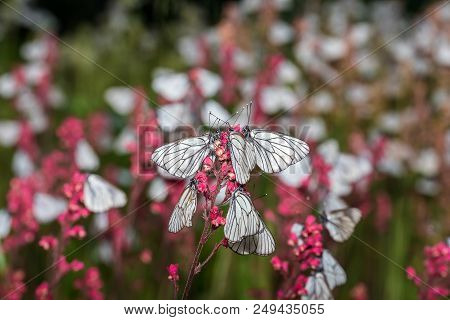 Butterflies With White Wings Are Sitting On The Stem Of A Plant - Macro