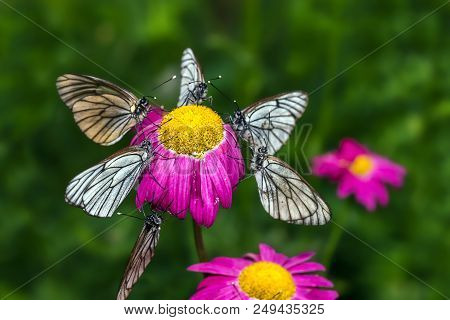 Butterflies With White Wings Are Sitting On A Flower - Macro