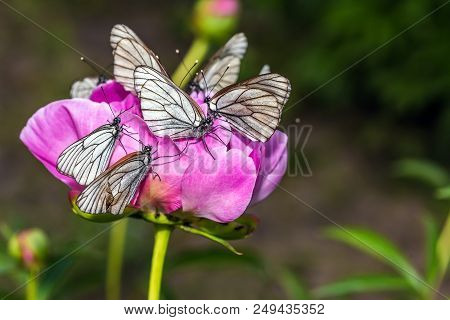Butterflies With White Wings Are Sitting On A Pion Flower - Macro