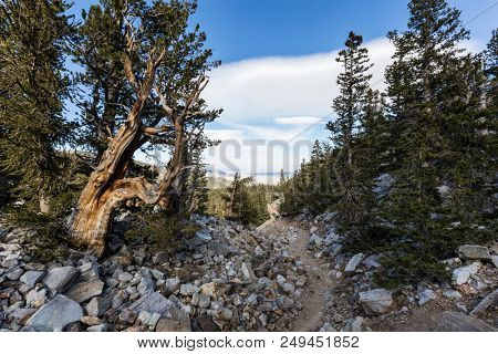 Bristlecone Pines trail in Great Basin National Park in Northern Nevada.  Bristlecone Pines are the oldest trees in the world.