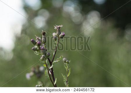 Meadow Flower On Meadow In Summer In Czech