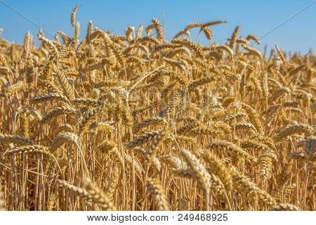 Closeup Of Golden Wheat Grain Crop With Natural Blue Sky Background